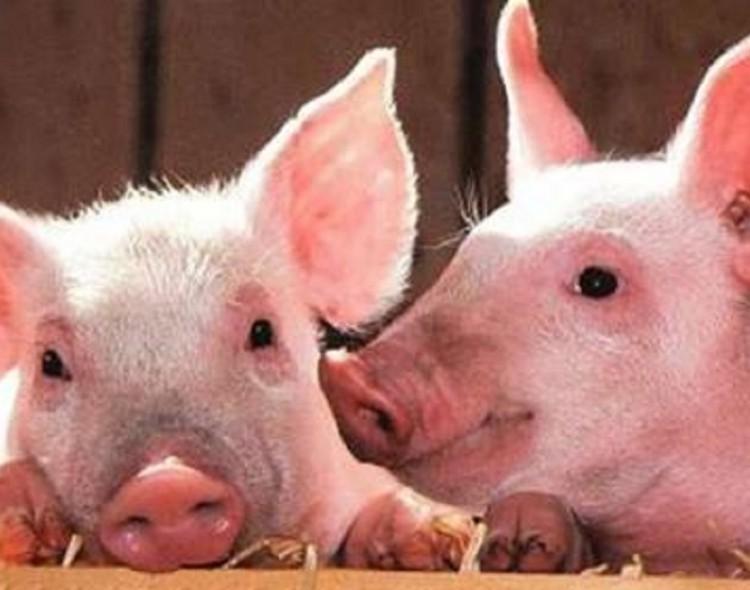Valstybės pagalba kiaulių laikytojams – nuo rugsėjo 3 d.